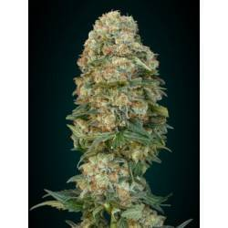 Afghan Skunk · Advanced...