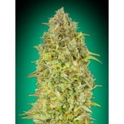 Skunk 47 · Advanced Seeds ·...