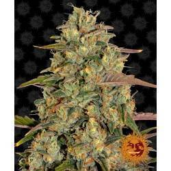 AMNESIA LEMON · Barneys Farm