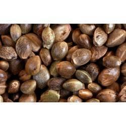Autoflowering cannabis seed