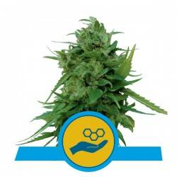 SOLOMATIC CBD · Royal Queen...