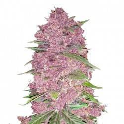 Purple Lemonade · FastBuds...
