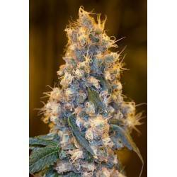 BLUE FIRE · Humboldt Seeds Organization · cannabis seeds · Fem