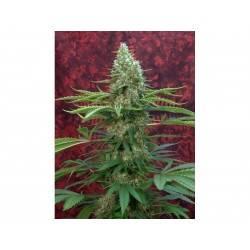 SATORI · Mandala Seeds ·...