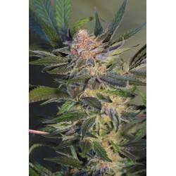 HASHBERRY · Mandala Seeds ·...