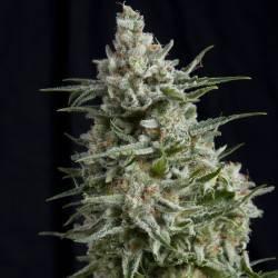 ANESTHESIA · Pyramid Seeds...