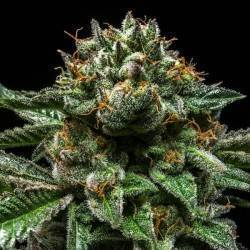 CHEMPIE · Ripper Seeds ·...