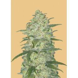 Original Auto White Widow ·...