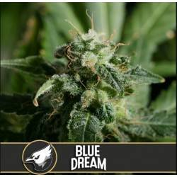 Blue Dream · Blimburn Seeds