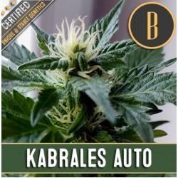 Kabrales Auto · Blimburn Seeds