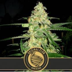 Original Clon · Blimburn Seeds