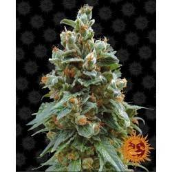 VANILLA KUSH · Barneys Farm...