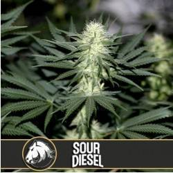 Sour Diesel · Blimburn Seeds