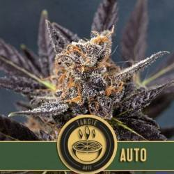 Tangie Auto · Blimburn Seeds