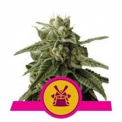 SHOGUN · Royal Queen Seeds...