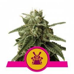 SHOGUN· Royal Queen Seeds ·...