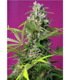 GORILLA GIRL XL AUTO  ·...