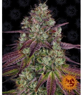 MIMOSA EVO · Barneys Farm