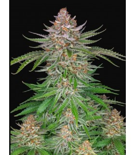 Strawberry Pie Auto ·...