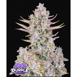 Purple Punch Auto ·...