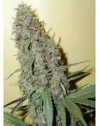 Tipo Di Marihuana CHEESE